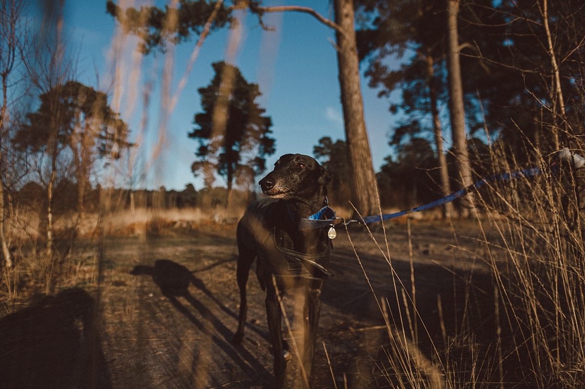 Photo of Greyhound dog standing in forest